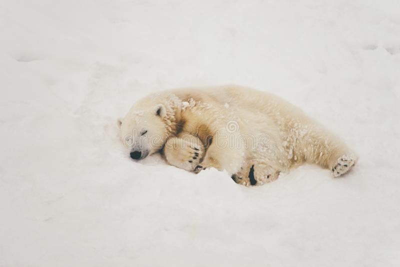 White polar bear in snow forest royalty free stock photo