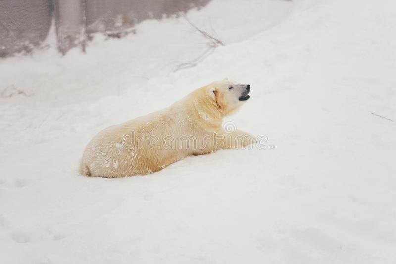 White polar bear in snow forest royalty free stock photography