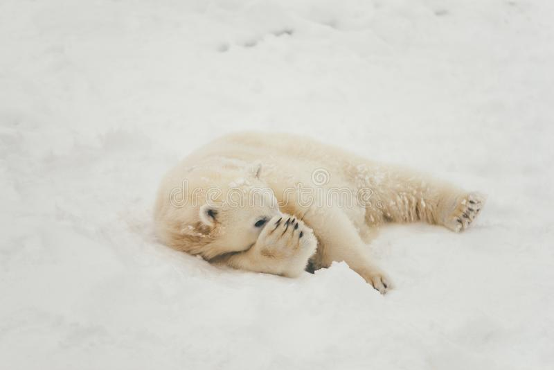 White polar bear in snow forest royalty free stock image