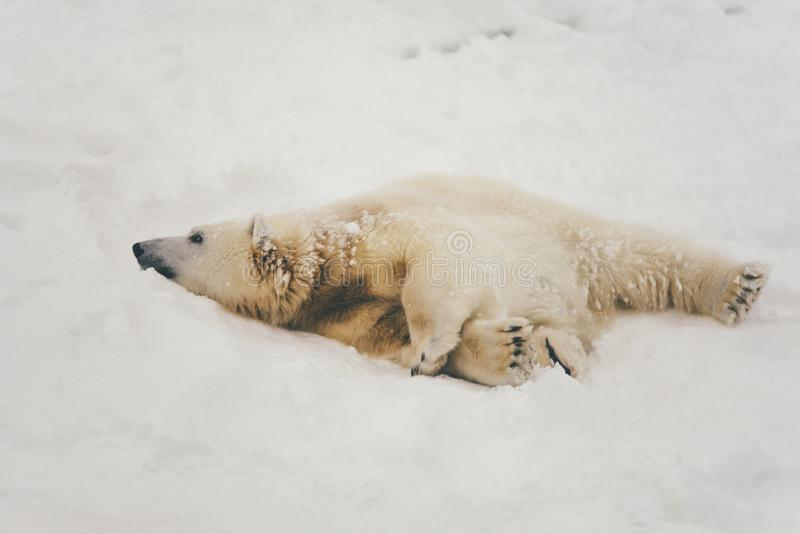 White polar bear in snow forest stock images