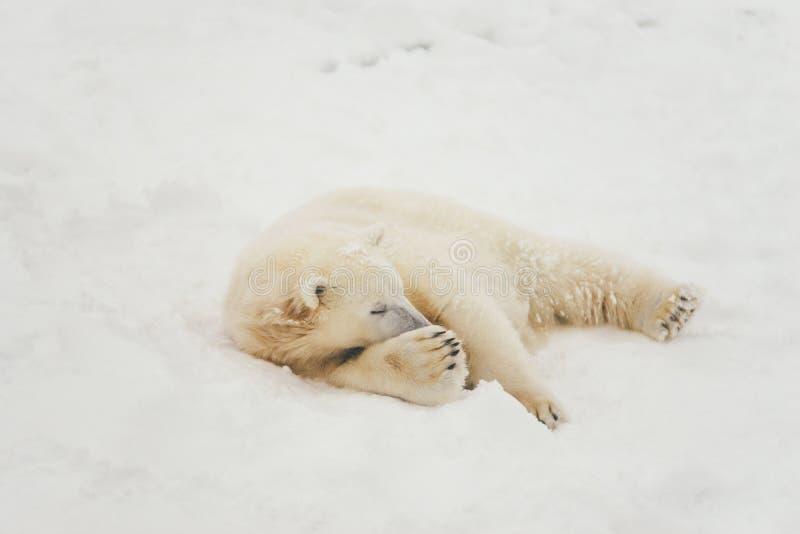 White polar bear in snow forest royalty free stock photos