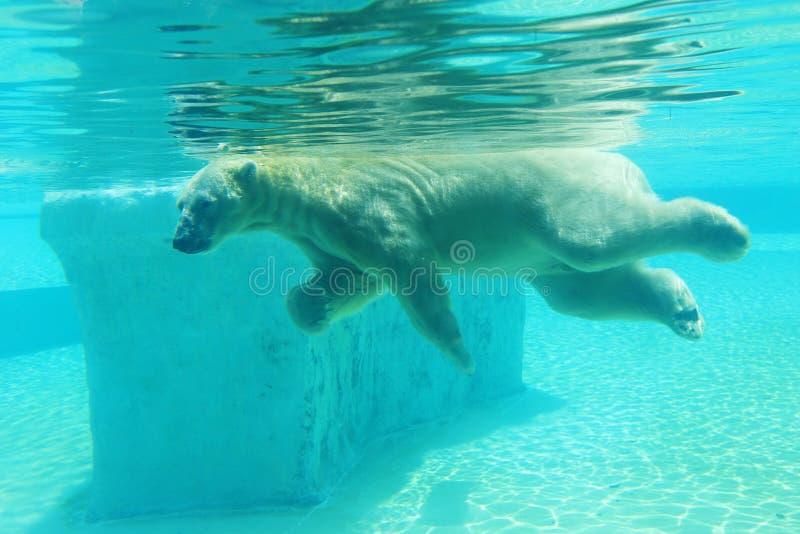 White polar bear swimming under water. stock image