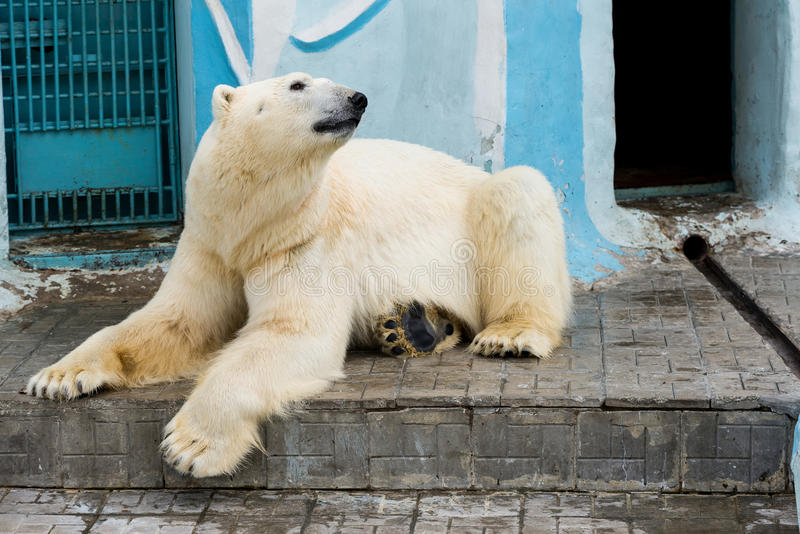 White polar bear in zoo. White polar bear at the zoo in a pool of water royalty free stock image