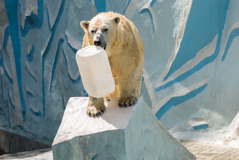 White polar bear in zoo. White polar bear at the zoo in a pool of water stock photos