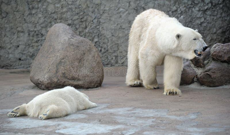 White Polar Bears Family Royalty Free Stock Photos