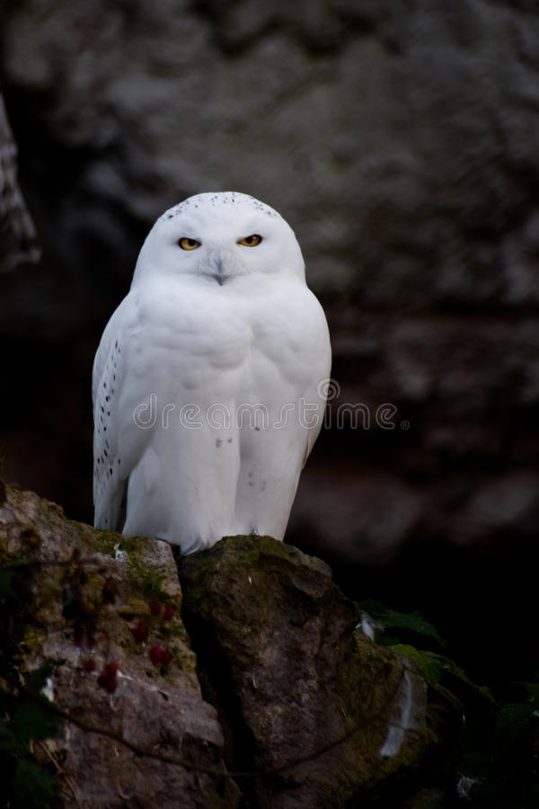White polar owl sitting on a dark background, a sharp contrast royalty free stock photo