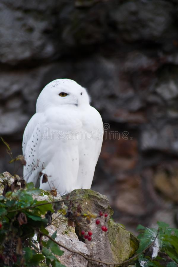 White polar owl sitting on a dark background, a sharp contrast stock image