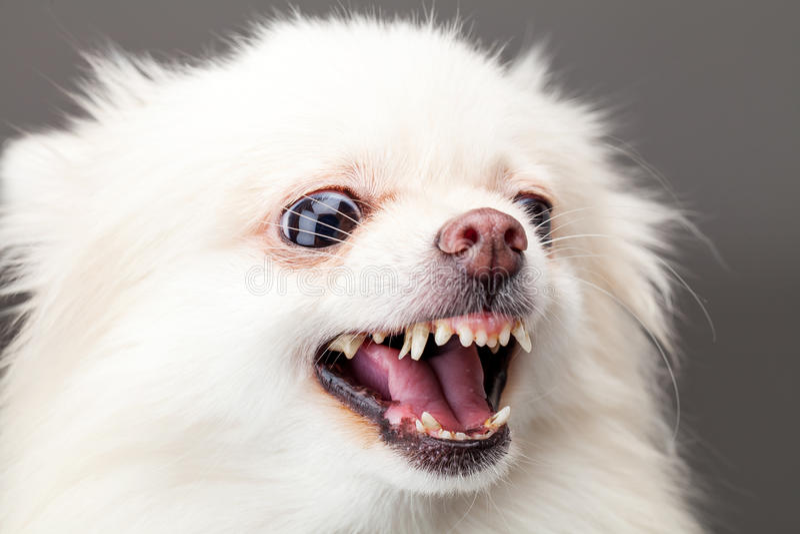 White pomeranian dog barking royalty free stock photography