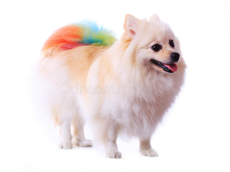 Must see Pomeranian Canine Adorable Dog - white-pomeranian-dog-grooming-colorful-tail-background-cute-pet-home-42386987  Pictures_358568  .jpg