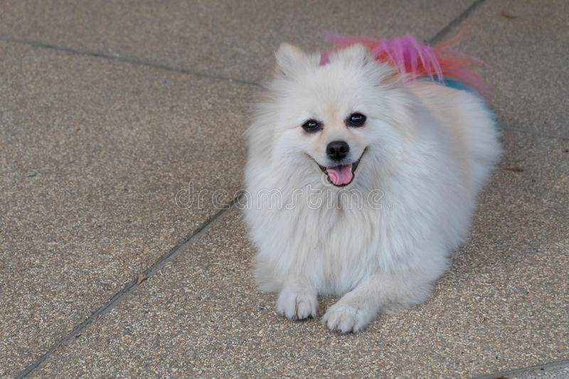Good Pomeranian Canine Adorable Dog - white-pomeranian-dog-grooming-colourful-tail-cute-pet-smiling-happy-60918077  Picture_32562  .jpg