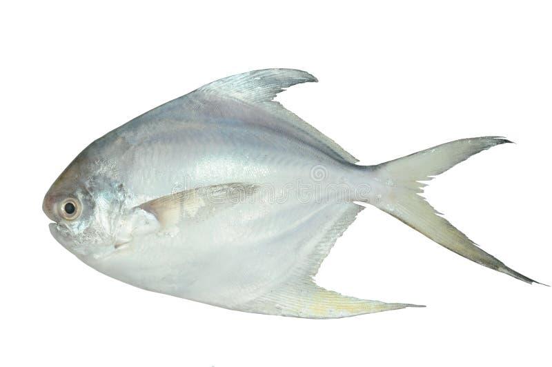 White Pomfret stock photo