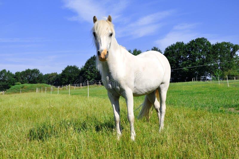 White Pony stock image
