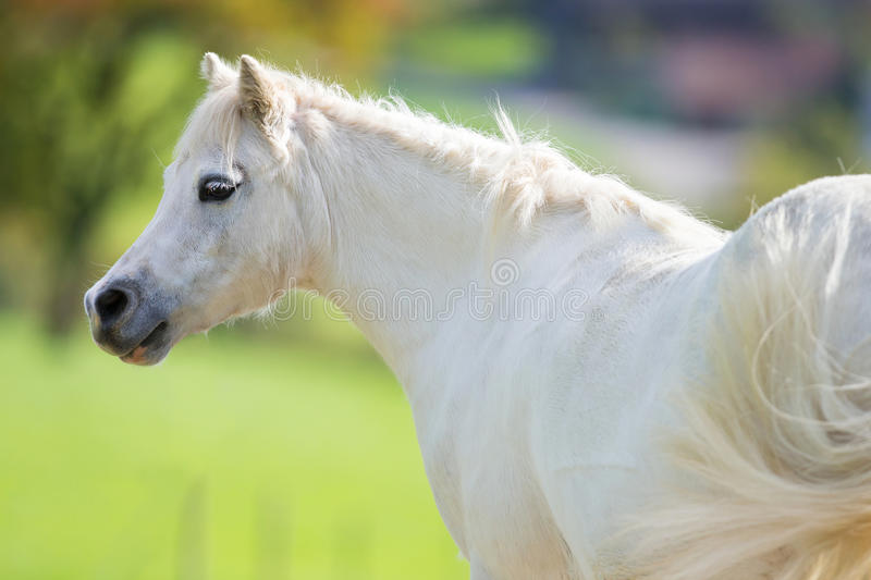 White pony close up on green background royalty free stock photography