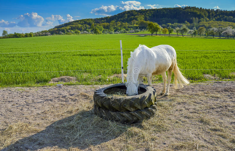 White pony eating hay stock photos