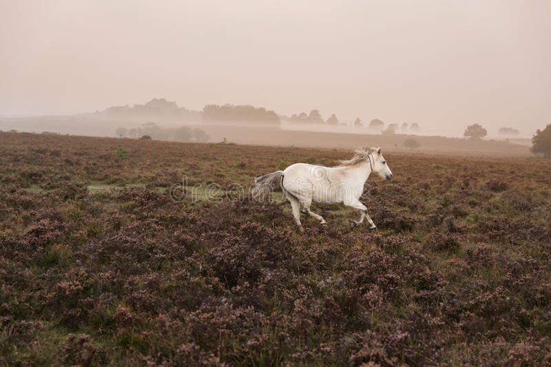 White pony feeding at misty sunrise morning in new forest royalty free stock photos