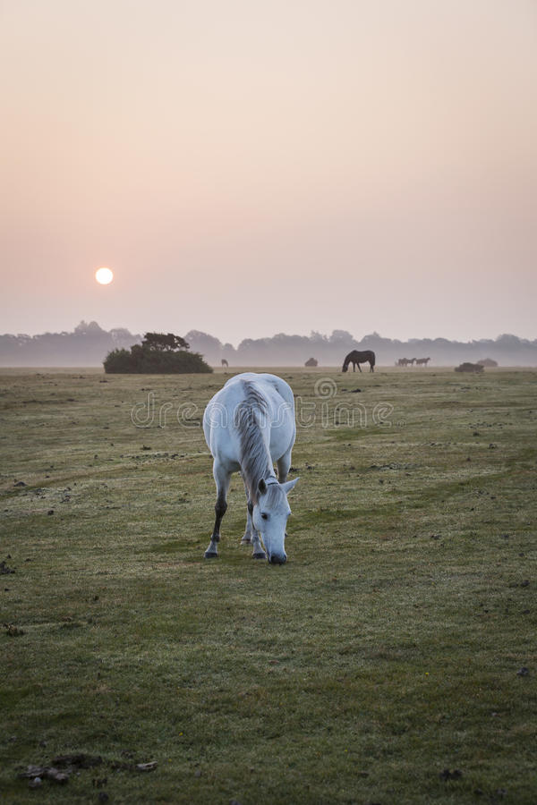 White pony feeding at misty sunrise morning in new forest stock photo