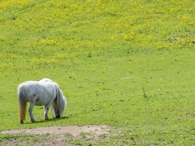White pony grazing on a meadow royalty free stock photography