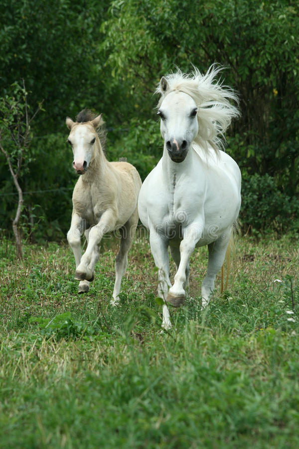 Download Pony Mare With Foal Running Stock Photo - Image of white, color: 30159746