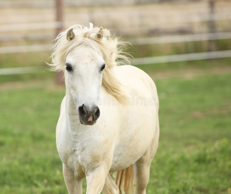 White pony on pasturage. White pony moving on pasturage in the evening stock photos
