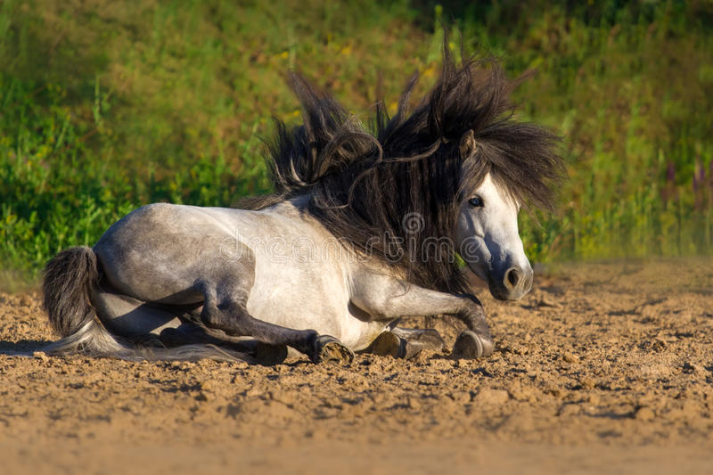 White pony stallion rolling royalty free stock photos