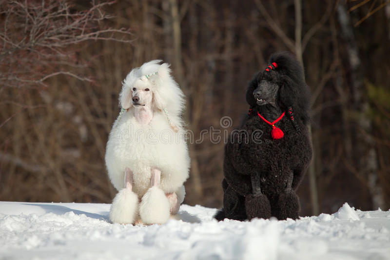 White poodle. In outdoor settings royalty free stock photo