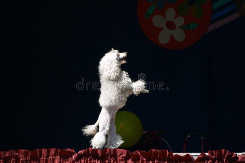 White poodle royalty free stock photo