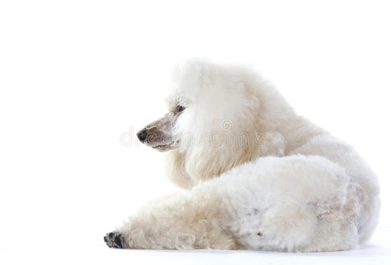 White poodle dog. Lying down in studio stock image