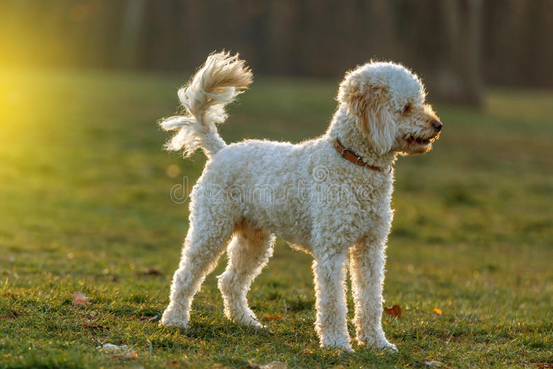 White poodle dog. Outdoors on green grass stock photos