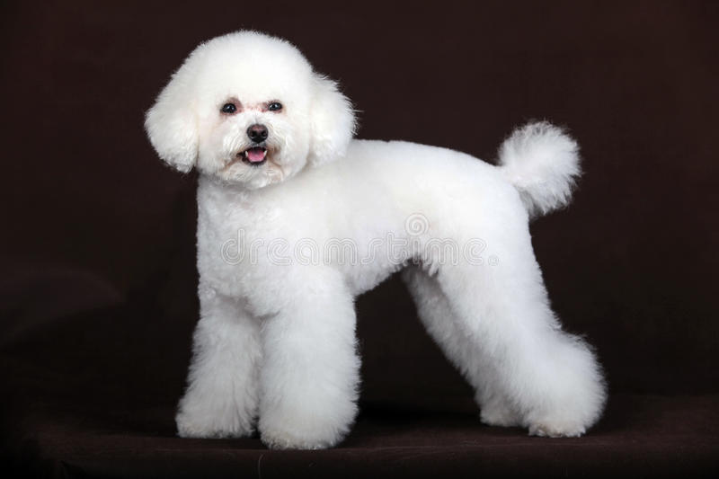 White poodle dog. Purebred white poodle dog in studio stock photo