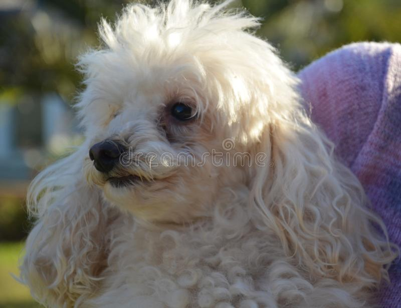 White poodle, dog. Rio Grande do Sul, Brazil royalty free stock photography