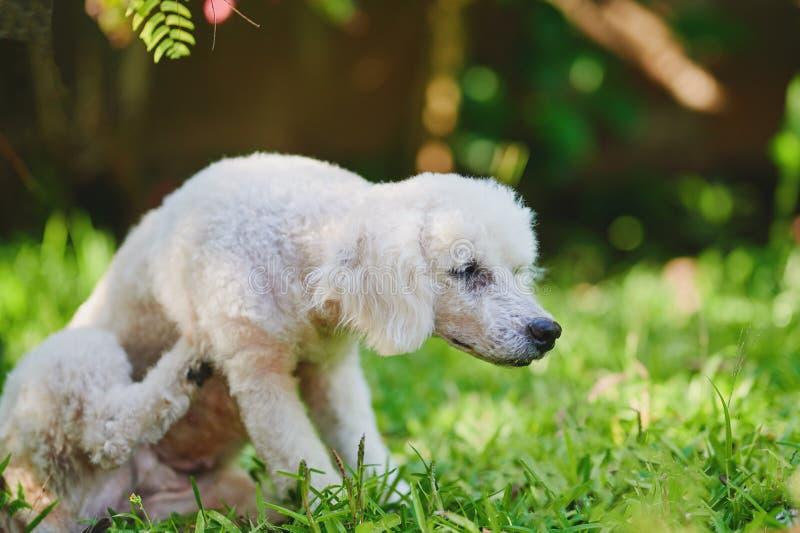 White poodle dog sratch himself stock photo