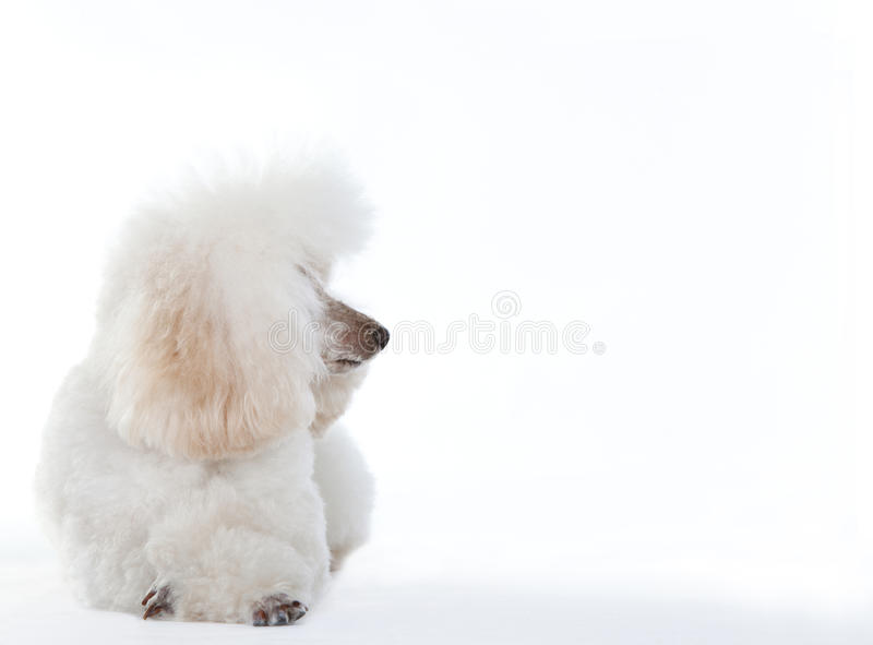 White Poodle dog. In studio with white background stock image