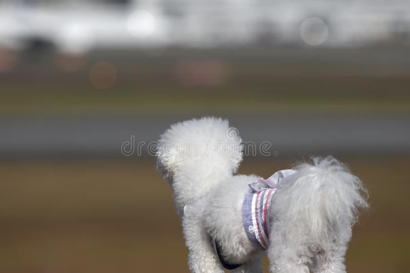 A white poodle looking in the space and waiting shallow focus royalty free stock images