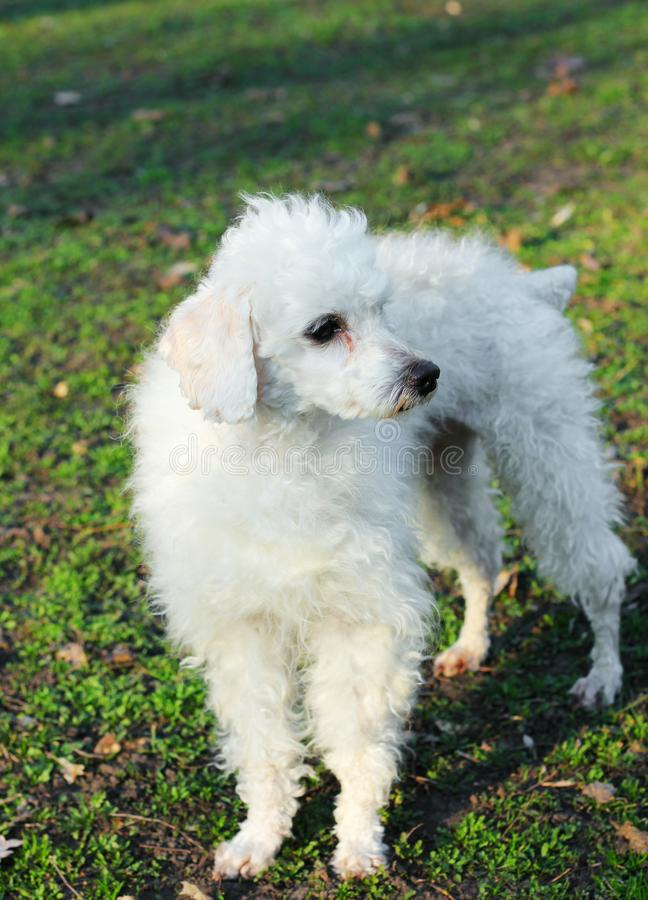 White poodle outdoor, on a walk. White poodle in the spring outdoor, on a walk stock photo