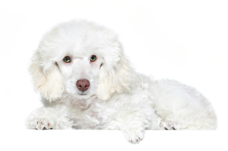 White poodle puppy with green eyes royalty free stock image