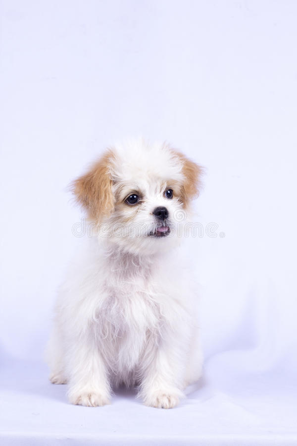 White poodle puppy. isolated on a white background royalty free stock photography