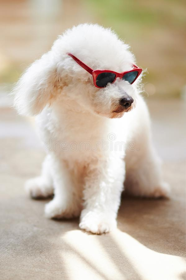 White poodle in red sunglasses. Sit on summer background royalty free stock images