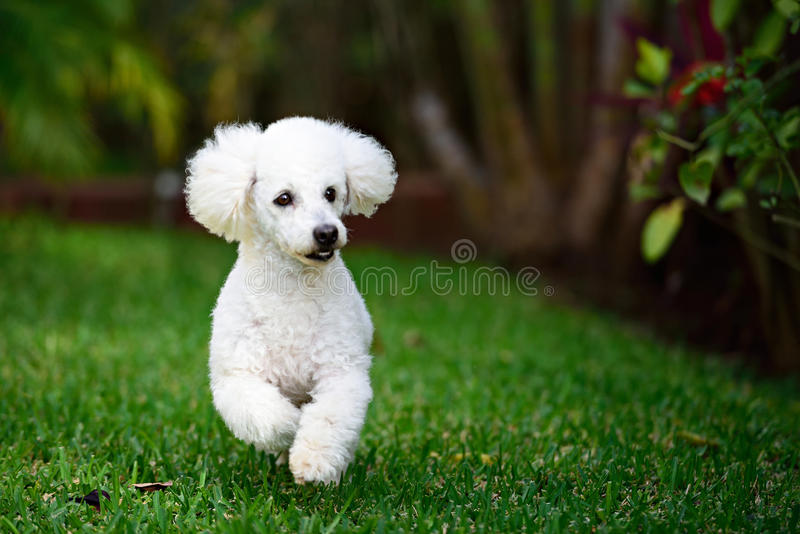 White poodle run stock images