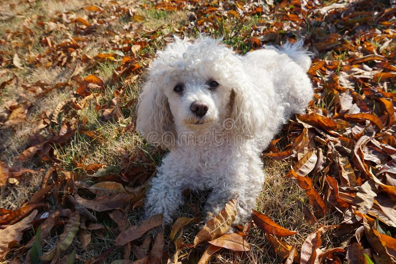 White poodle sitting, staring straight ahead royalty free stock photos