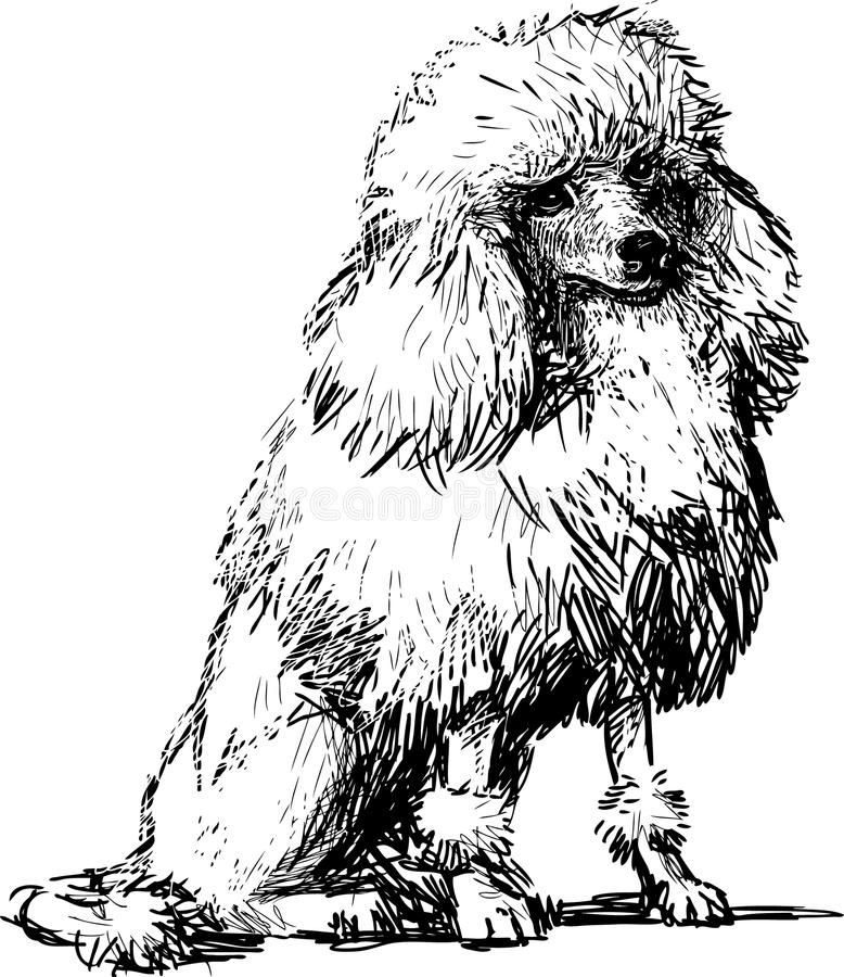 White poodle. Vector image of a white cute poodle vector illustration