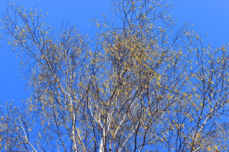 White poplar tree against the blue perfect sky in a spring sunny day stock photos