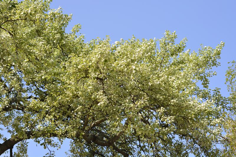 White poplar stock photography