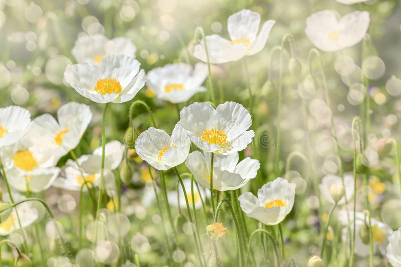 White poppies outdoor. Beautiful floral background of white poppies. Beautiful floral background of white poppies stock image