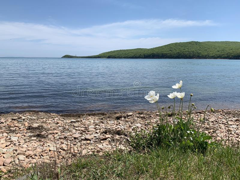 White poppies on  Russkiy Russian, Russky island  on the background of the island of Shkot in spring sunny day. Vladivostok, Rus. Sia royalty free stock images