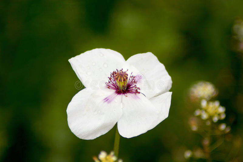 Download White poppy stock photo. Image of wallpaper, nature, plant - 17520090