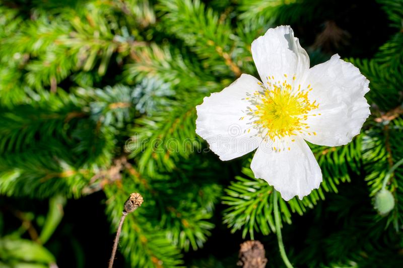 White poppy in the background of pine branches in close up royalty free stock image