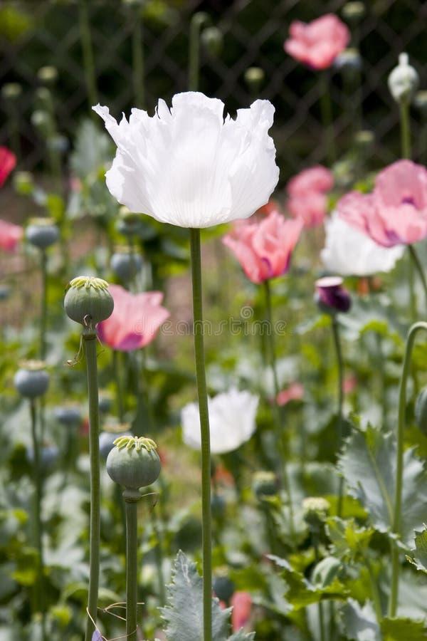 Free White Poppy Flower Stock Images - 14069394
