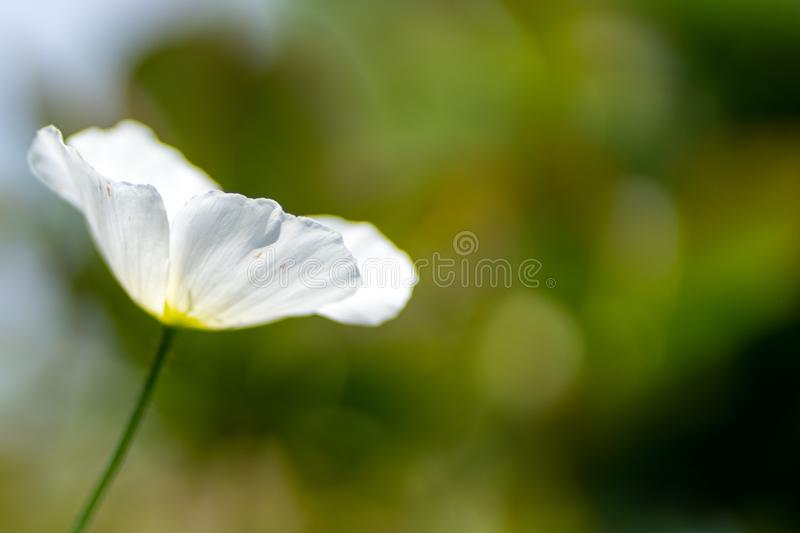 White poppy in the garden in soft focus and blurred background royalty free stock photography
