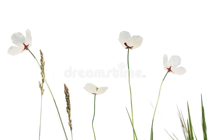 White poppy meadow royalty free stock photography