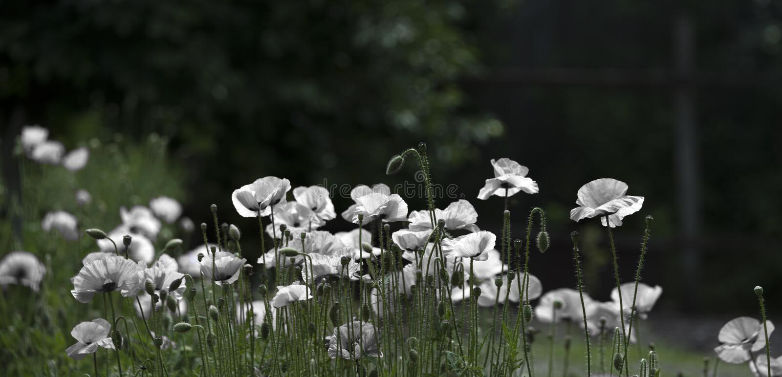 White poppy, panorama.Selection white color, gentle creation. royalty free stock photos
